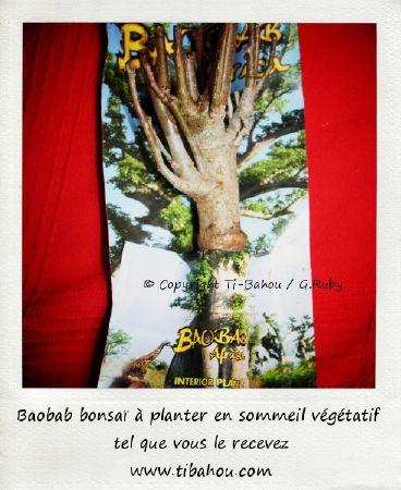 baobab bonsai en sommeil vegetatif