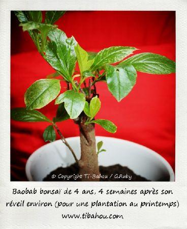 babab bonsai plante